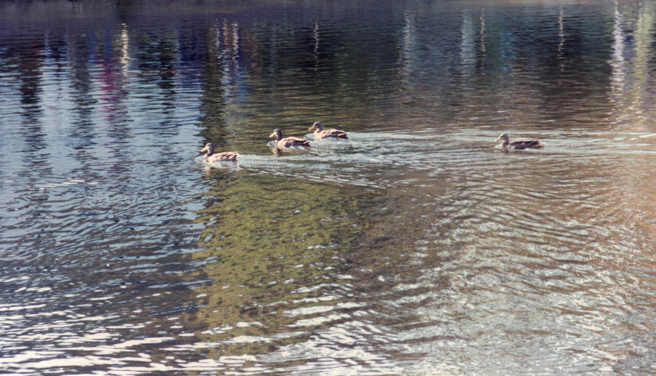 ducksswimming (2)